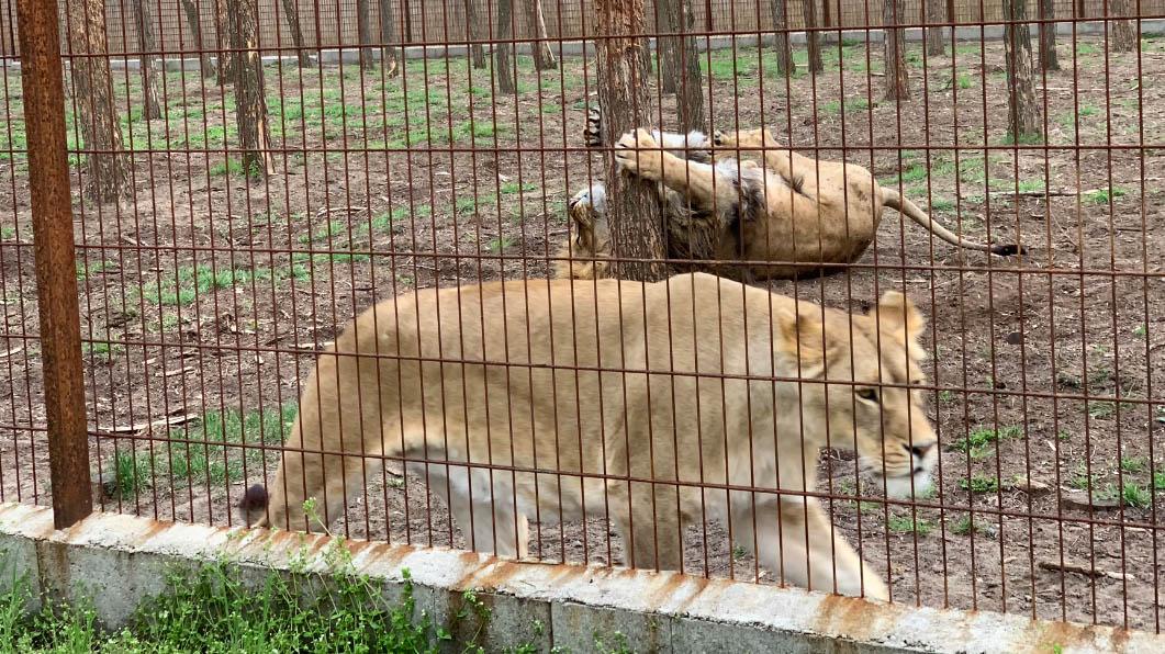 """""""Nagyon kemény, kiszökött az egyik oroszlán"""" – itt a Veresegyházán meglépett oroszlánról készült videó"""