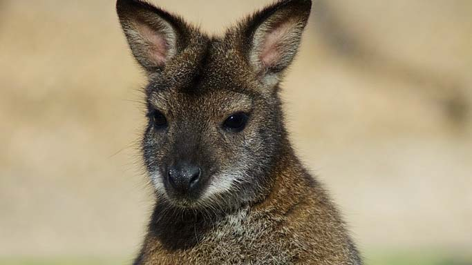 Elszökött két kenguru a Miskolci Állatkerből: a vadaspark vezetősége a lakosság segítségét kéri