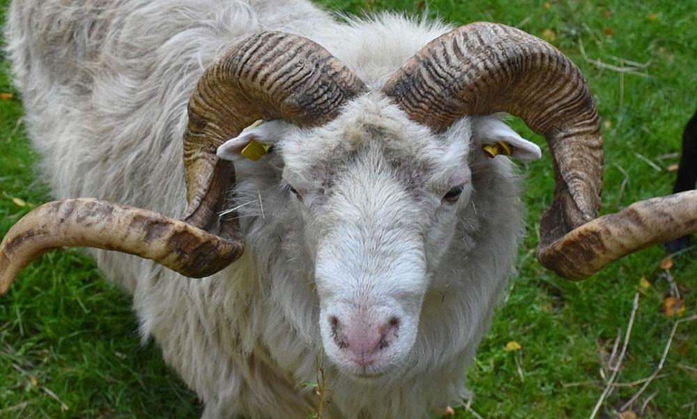 Először Ildikóval, majd Zoltánnal végzett a gyilkos kos: az állat gazdája börtönbe kerülhet