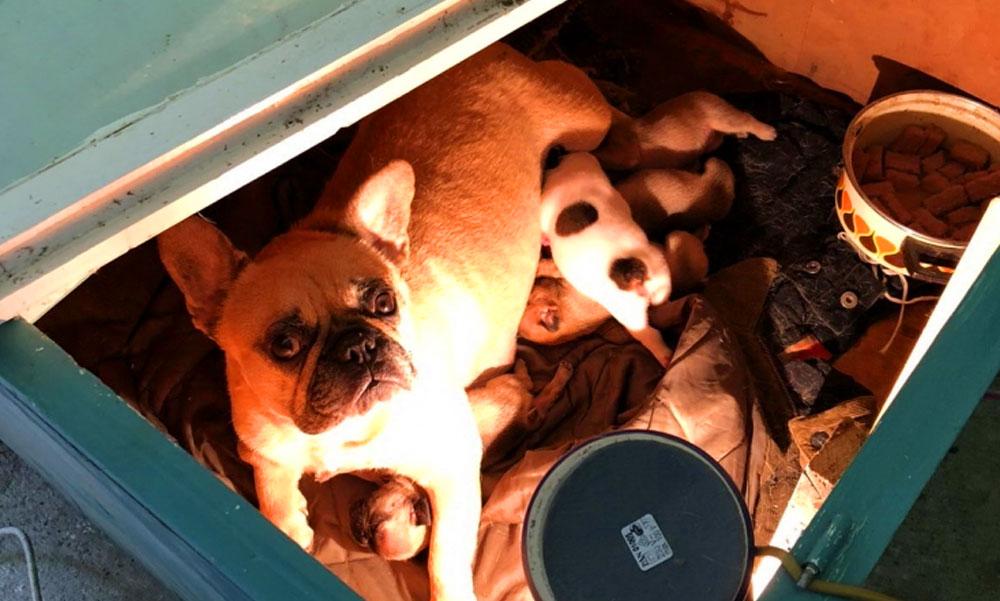A pofátlan tolvaj egy egész kutyacsaládot lopott el, a gazda résen volt és a kutyarabló után hajtott az autójával