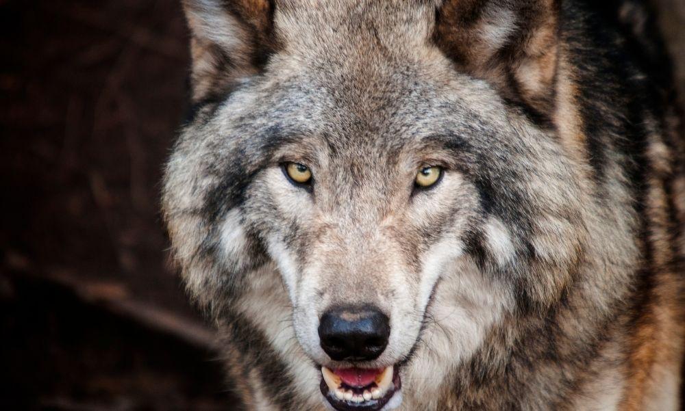 Farkasok támadhattak egy kutyára a Vécsey-völgyben