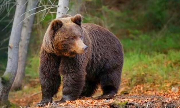 Halálos medvetámadás: pásztorokra támadt a vadállat, az egyik meghalt, a másikat életveszélyesen megsebesítette, még az ujjait is leharapta