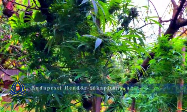 Profi kannabisz-ültetvényt lepleztek le Budapesten, mobilszekrényekben nőtt a kábítószernek való növény