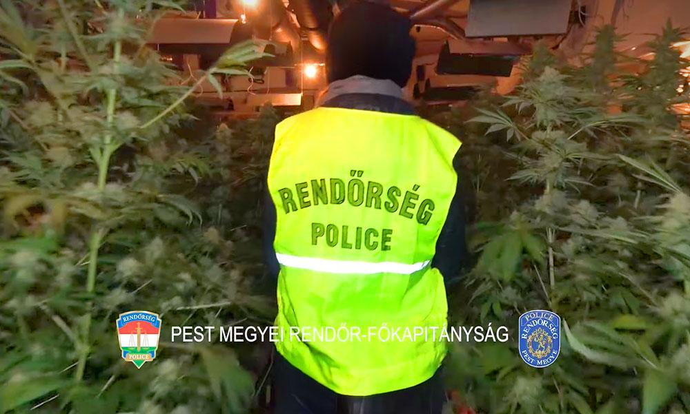 Hatalmas fogás: Több százmillió forint értékű marihuánatelepet számoltak fel a rendőrök – videó