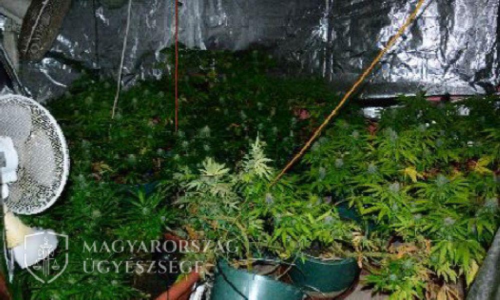 Elképesztő: égő ház oltása közben találtak rá egy férfi marihuánaültetvényére