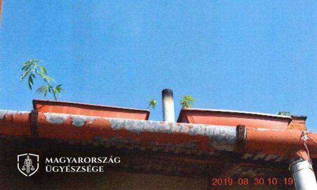Társasház tetején termesztett balkonládákban marihuánát: így büntetné a férfit az ügyészség