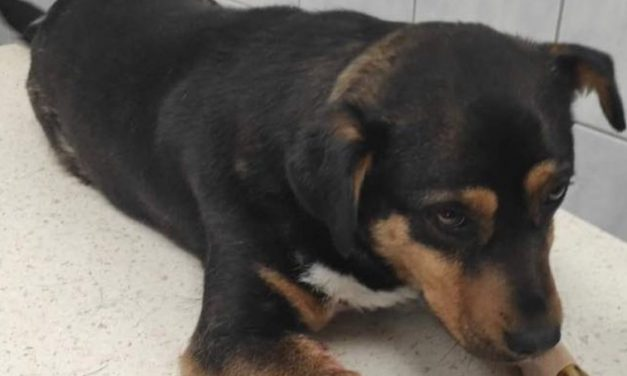 Borzalom Szabolcs megyében: közvetlen közelről lőtt nyakon egy kutyát valaki, mert zavarta az ugatás – Az állat kritikus állapotban van, a tettest keresik – videó