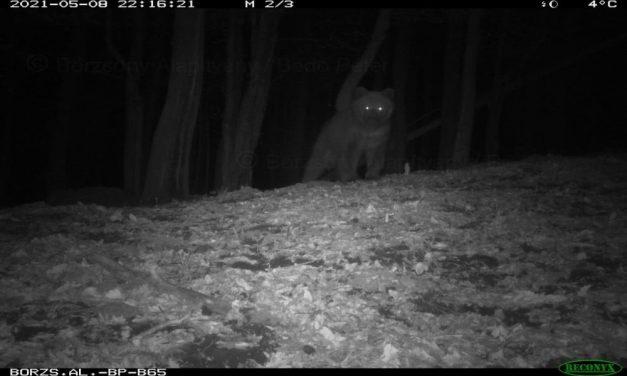 Lefotózták a Börzsönyben mászkáló medvét