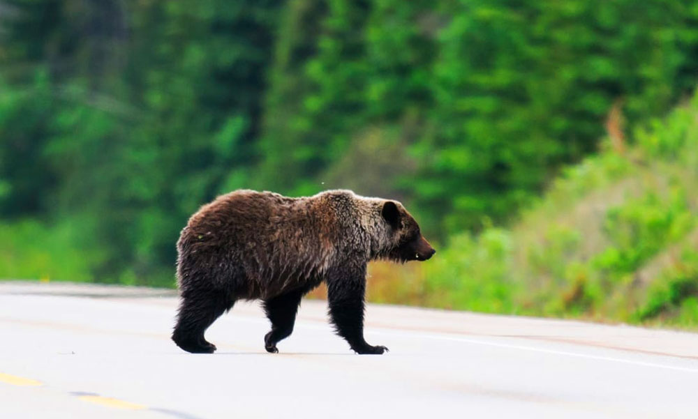 """""""Anyám, én medvét látok a Nagytarcsára vezető úton"""" – mondta a férfi, aki közelről látta a brutálisan nagy barnamedvét, közben máshol is medveriadót fújtak Budapest környékén"""